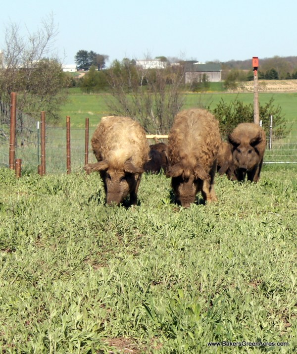 Homestead Mangalitsa hogs enjoying green grass and tilling a field.