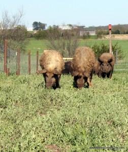 Mangalitsa hogs enjoying green grass and tilling a field.