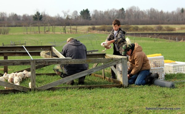 Mark Baker and sons prepping chicken tractors for free range pastured raised poultry.