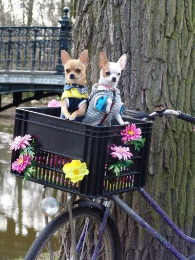 bike with flowers and dogs in a crate in amsterdam holland