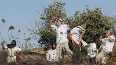 صورة مستوطنون يقطعون أشجار الزيتون جنوب نابلس