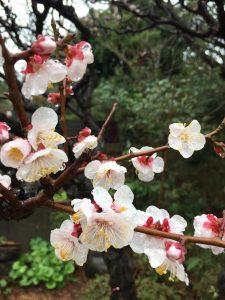 2019 春の梅