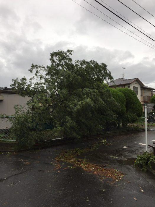 台風15号ミモザ倒木1