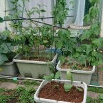 グリーンカーテン的家庭菜園