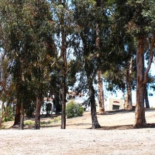 Stroll among eucalyptus