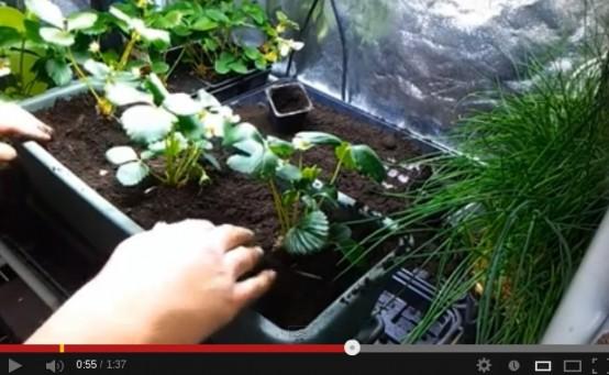 tutoriel video planter des fraisiers sur un balcon radis de 18