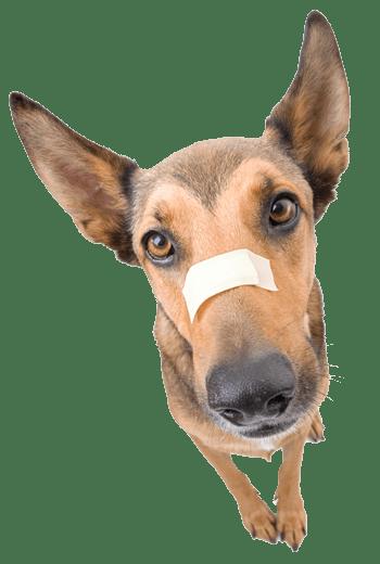 injured-dog-head350