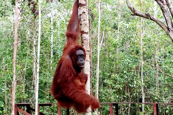 borneo-orang-outan