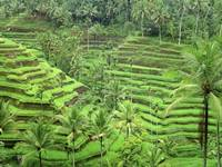 Ceking Tegalalang Rice Terrace