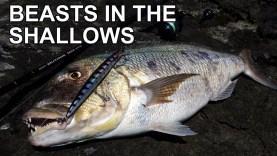 Sığ suda ve kayaların arasında sinarit avı