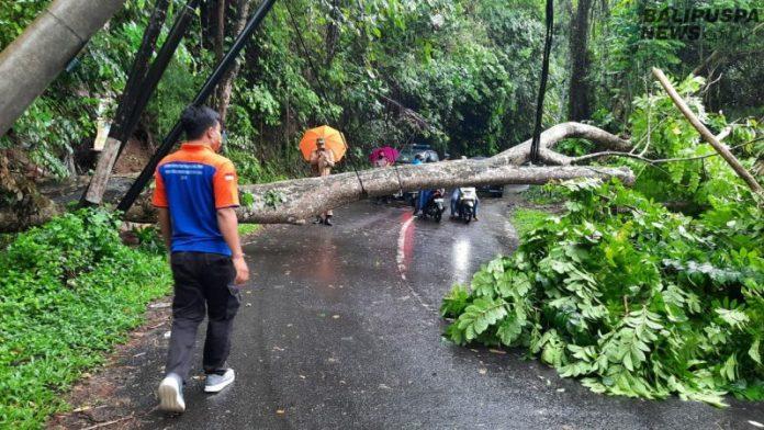 Pohon santen yang tumbang di Banjar Payogan, Kedewatan Ubud, Senin (18/5/2020) pagi.
