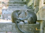 macaca, fascicularis, monkeys, uluwatu, bali, temple, hindu, places, places of interest, places to visit