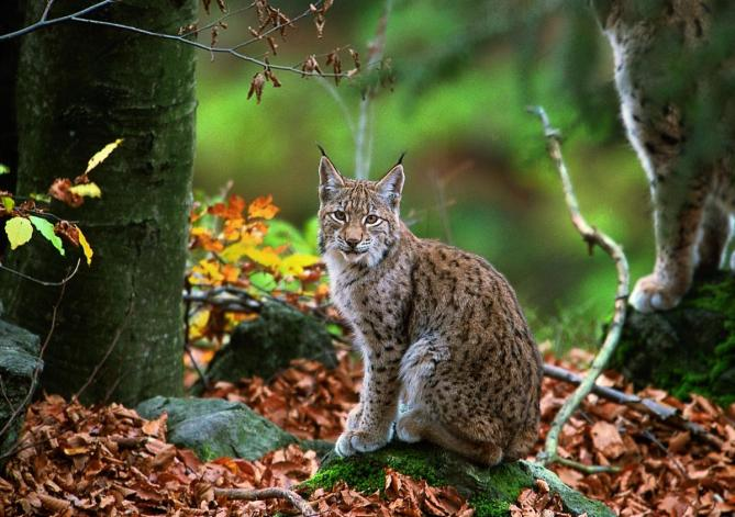 The hydropower projects in Mavrovo National Park are putting the last Balkan lynxes, a subspecies of the Eurasian lynx (in the picture), at risk. © Joachim Flachs.