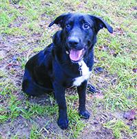 WAGRAM : Mâle border croisé labrador, 1 an, plein de vie. à placer en maison avec terrain clôturé.