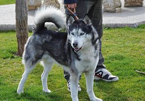 PIKER : Husky, 9 ans. Au refuge suite au décès de son maître. S'entend bien avec les autres chiens. En Espagne.