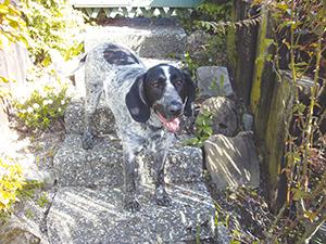 RUDOLF : Croisé, 5 ans, c'est un amour de chien zéro défaut, ok appartement, ok chats, ok enfants, ok congénères. En Suisse.