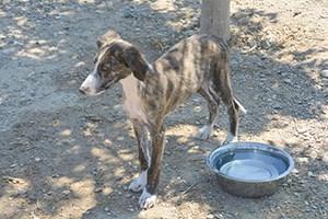 BROOK : Galgo, 4 mois, affectueux, s'entend bien avec les autres chiens. A éduquer.