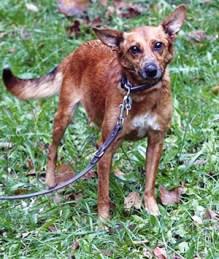 CRISHKA : Femelle croisée Ratier, 6 ans, stérilisée, excellente chienne de compagnie.