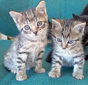 CHATONS : Comme toutes les années beaucoup de chatons attendent une famille au refuge, venez vite les voir.