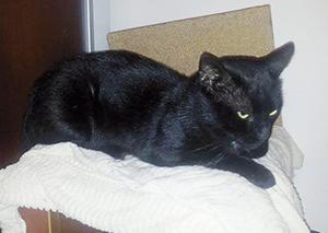 ZEBULON : Chat mâle qui adore les câlins - FIV +.