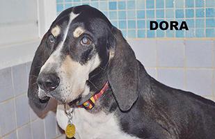 DORA : Femelle Anglo Française cherche une famille pour retraite heureuse.