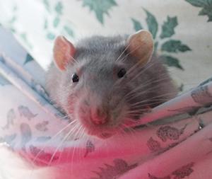 RATS : Colt et Smiss ont 1 an et cherche une gentille famille d'adoption. Ils sont très sociables.