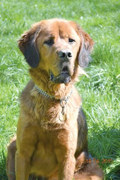 DANGPO : Mâle croisé Dogue du Tibet, castré.