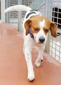 IDELL : Mâle Beagle castré, 3 ans.