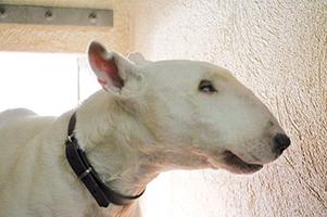 Kira : Sos pour cette femelle Bull Terrier de 10 ans, abandonnée dans un triste état. Elle mérite une retraite heureuse avec un maître qui lui offrira enfin de bonnes conditions de vie et de l'amour.