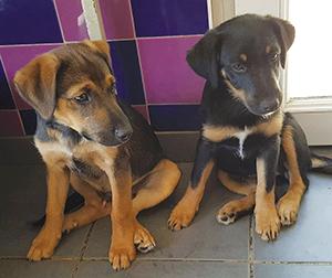 SIMBA et KIARA : Mâle et femelle Border x Terrier 3 mois.