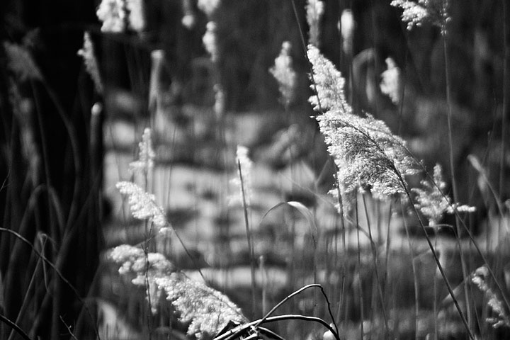 Reeds In The Breeze