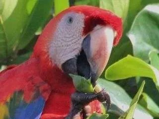The Scarlet Macaw or lapa is one of the world's biggest parrots, Birdwatching and Ornithology
