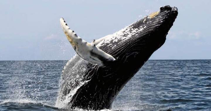 Humpbacks Whales, Acrobatic and Powerful joyful giants!