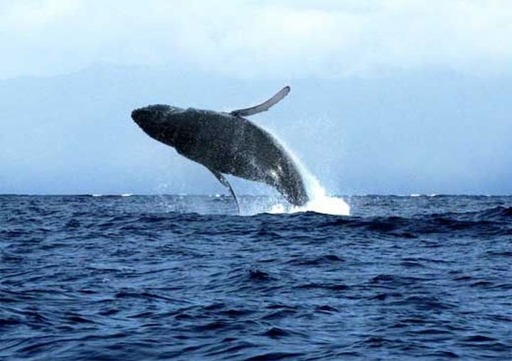 whales, costaballenalovers, puravida, joyful giants, whale watching, costa rica,