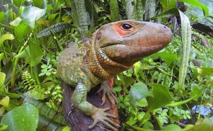 Not a Caiman But a Lizard!,  ¡No es un caimán sino un lagarto!