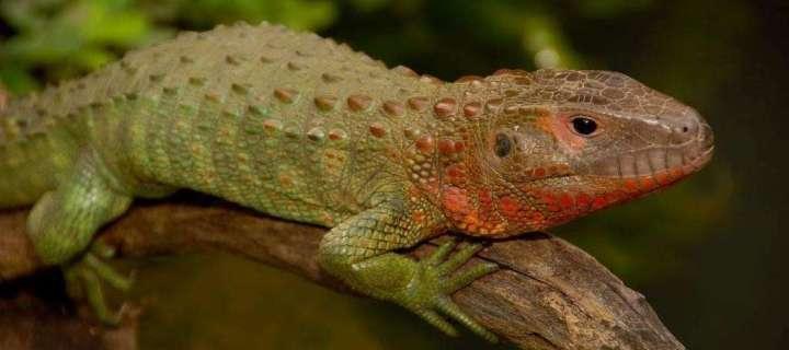 Not a Caiman But a Lizard