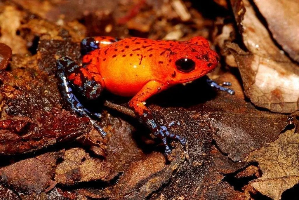 Costa Rican Red Frog