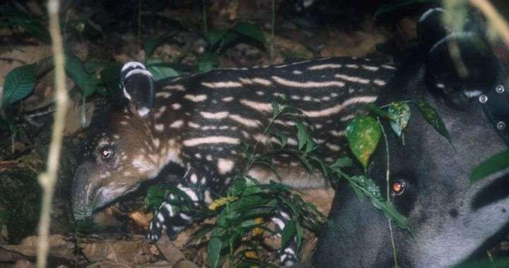 Hacienda Barú: El sueño de un hábitat para la danta o tapir 6