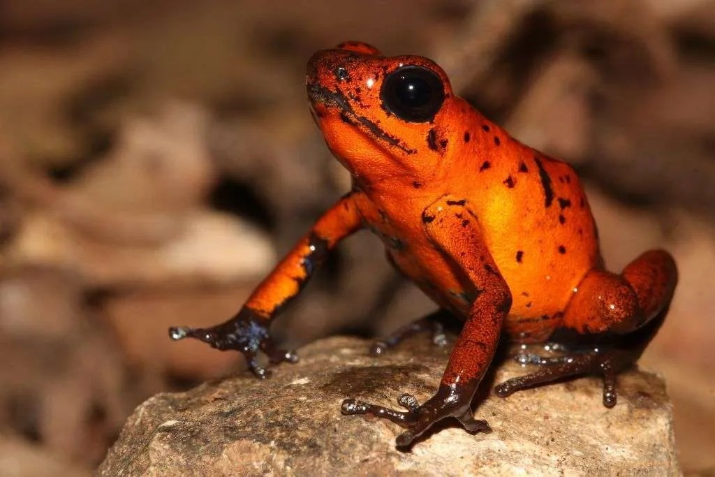 Red Tropical frog