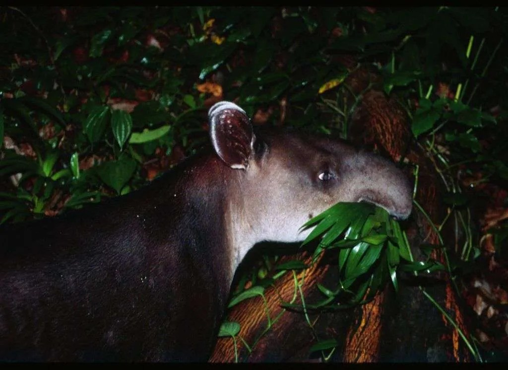 fressendes Tapir