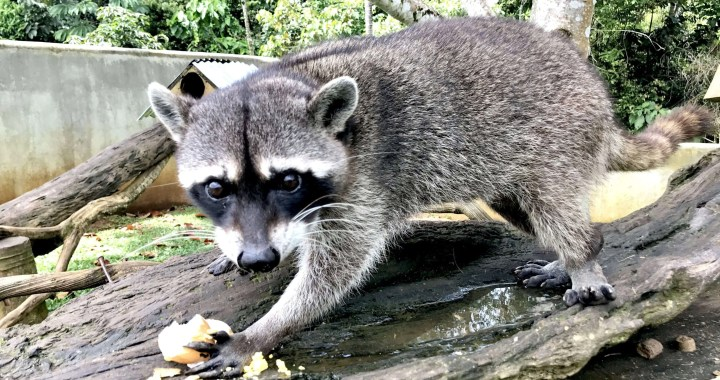 Tommy, el racoon mapache