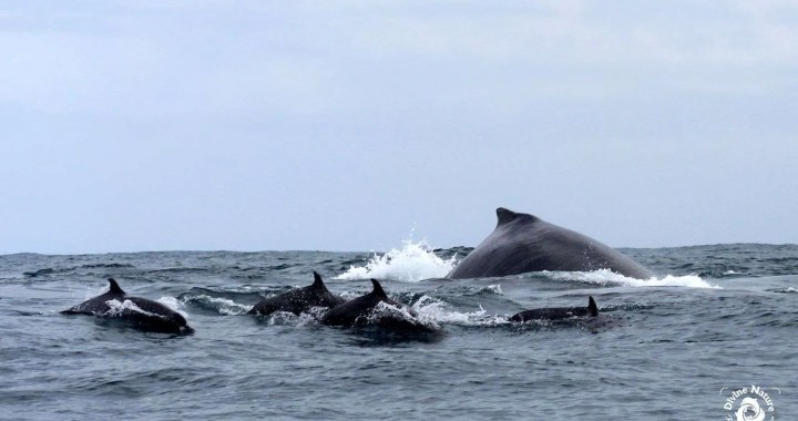 Golfo Dulce y los Delfines Golfo Dulce and the Dolphins