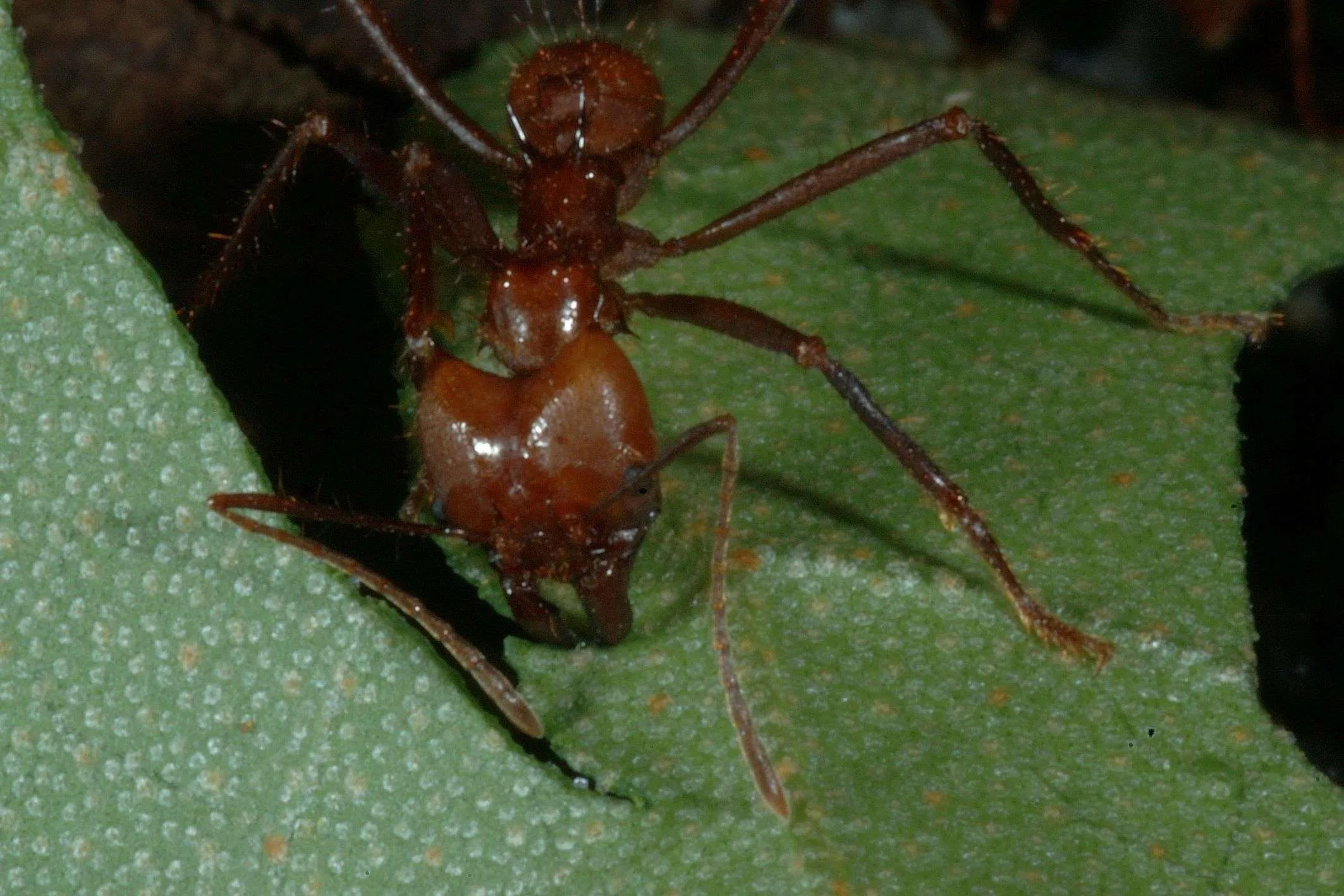 Tropical Insects: Amazing Leaf-Cutter Ants 1