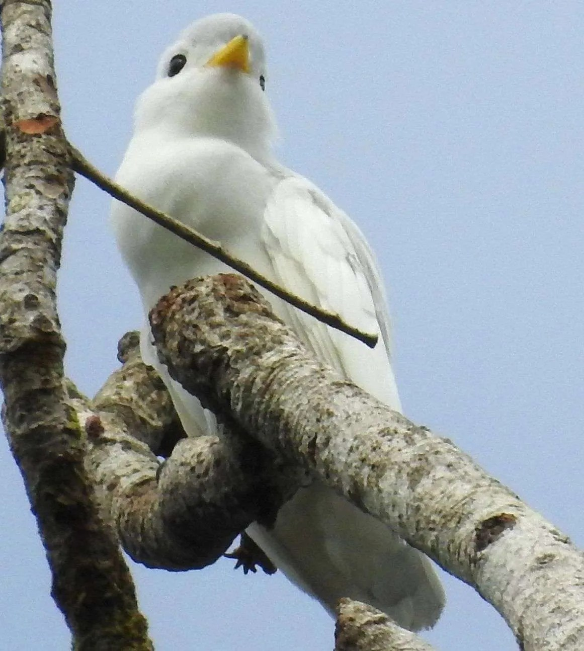 cotinga bird ave