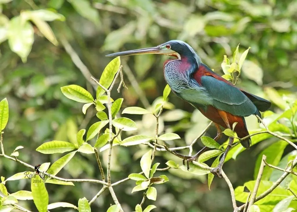 garzas, Herons stalking by the river- Costa Ricas special Birds