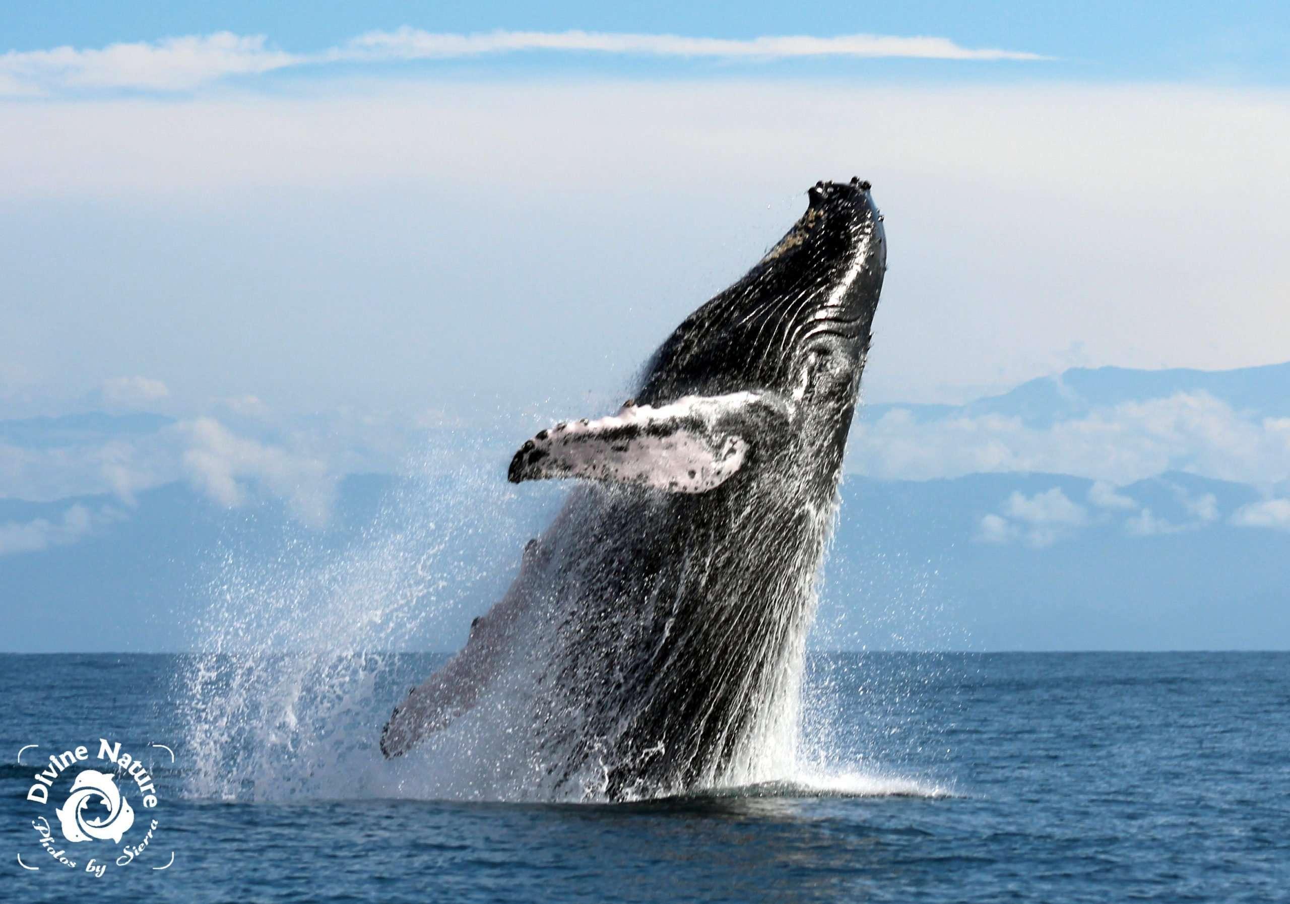the call of the whales - el llamado de las ballenas