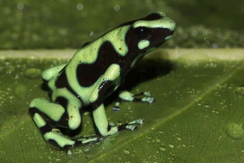 The green-black poison frog, beautiful jewel of Costa Rica