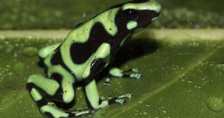 Dendrobates-granuliferus-rana venenosa verde - poisonous green frog Costa Rica