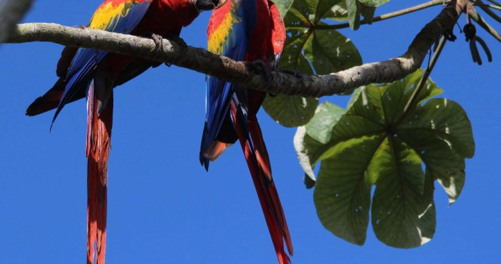The Ara or Scarlet Macaws are the largest parrot in the world.