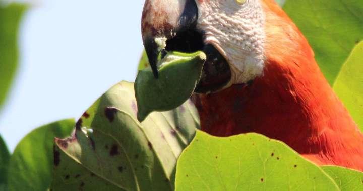 la guacamaya o lapa, Sierpe de Osa un lugar muy especial para observar vida silvestre